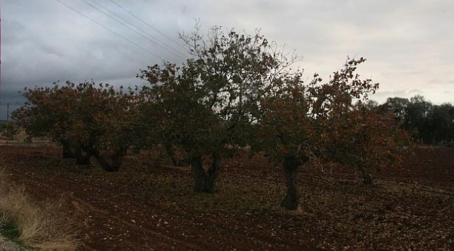 Türkiye'nin en yaşlı fıstık ağaçları Kilis'te bulundu