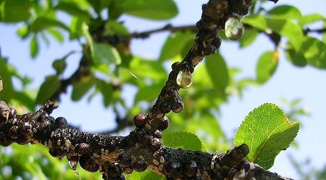 Meyve Ağaçlarında  kabuklu bit uyarısı