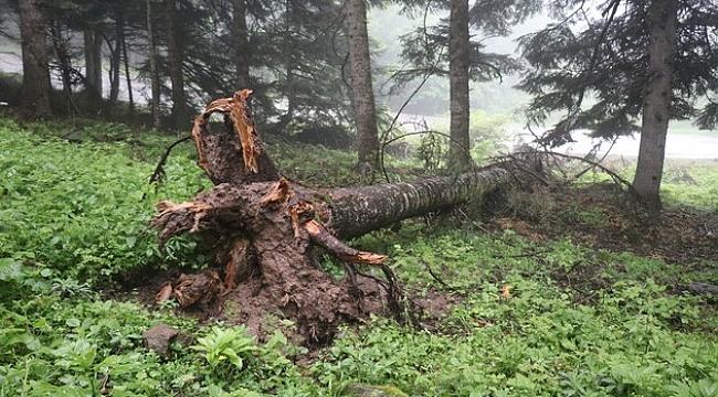 Kuvvetli rüzgar dev ağaçları kökünden söktü