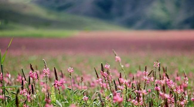 Pembe ve yeşilin buluştuğu çiçek tarlası hayranlık uyandırıyor