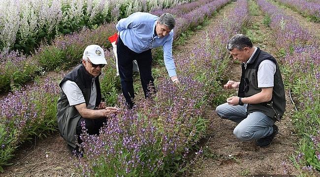 Kurulan 62 dekarlık tıbbi bitki bahçesinde 56 tür üzerinde çalışılıyor