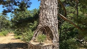 Siz hiç kanguru ağaç gördünüz mü ?