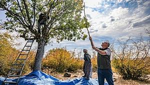 Orman Bölge Müdürü Selendi Ormanlarında  Köylülerle Birlikte Antep Fıstığı Hasadı Yaptı